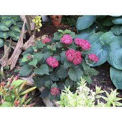 Proven Winners PW Hydrangea Invincibelle Ruby 8 inch