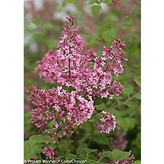 PW Syringa Bloomerang Pink Perfume 8 inch