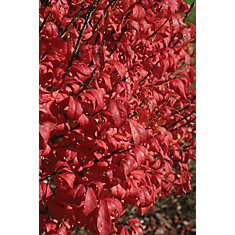 PW Euonymus Fire Ball 5g