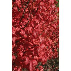 Proven Winners PW Euonymus Fire Ball 5g