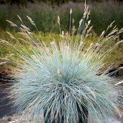 Garden Elements 2 Gallon Elijah Blue Fescue Grass (Festuca)