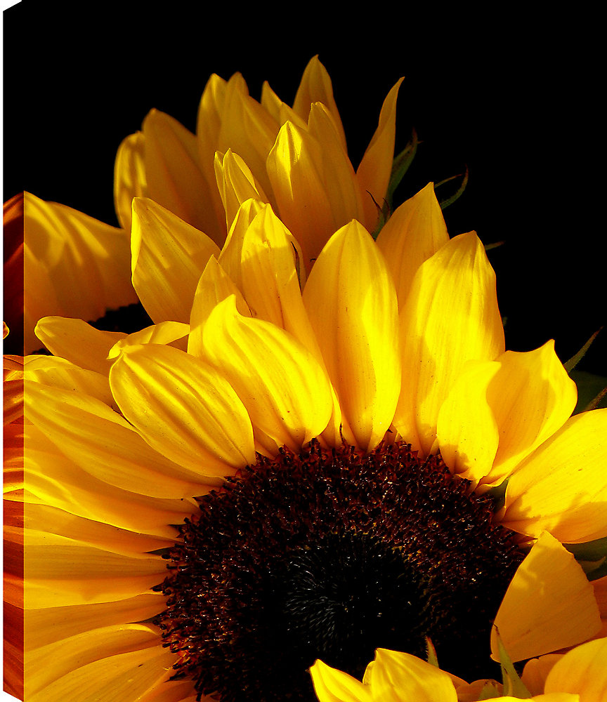 Sunflower II\' Photographic Print on Wrapped Canvas
