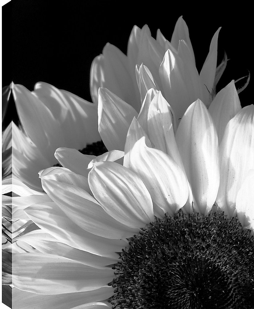 Sunflower\' Photographic Print on Wrapped Canvas