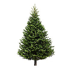 6-7 ft Fresh Cut & Canadian-Grown Fraser Fir Christmas Tree
