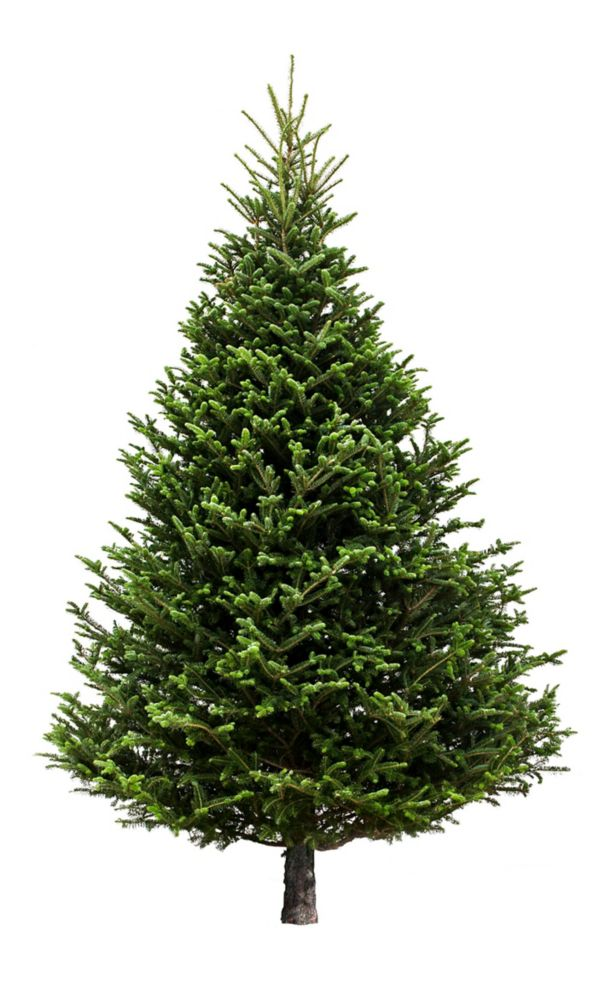 Brookdale Treeland Nurseries 6-7 ft Fresh Cut & Canadian-Grown Fraser Fir Christmas Tree