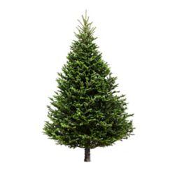 Brookdale Treeland Nurseries Sapin Fraser de Noël fraîchement coupé et cultivé au Canada, 6 à 7 pieds