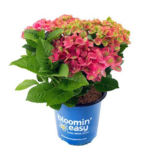 Bloomin' Easy 2 Gallon Tilt-A-Swirl Hydrangea macrophylla