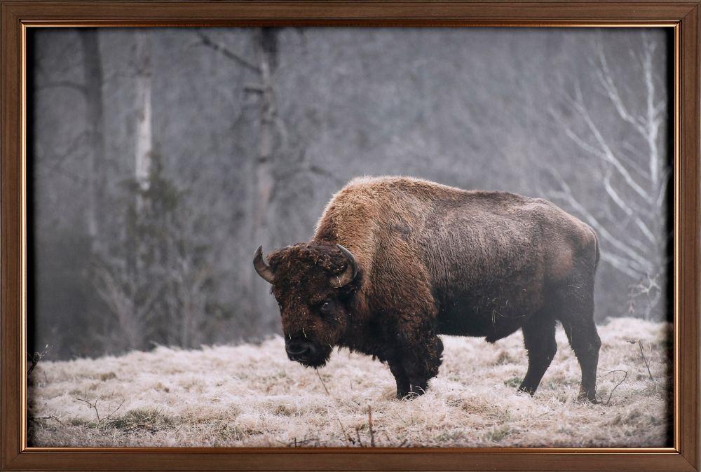 Art Maison Canada Buffalo in the Field, Animal Art, Print on Paper, Laminated