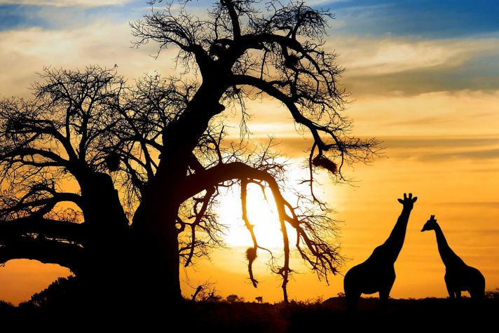 Brilliant sunset Giraffe