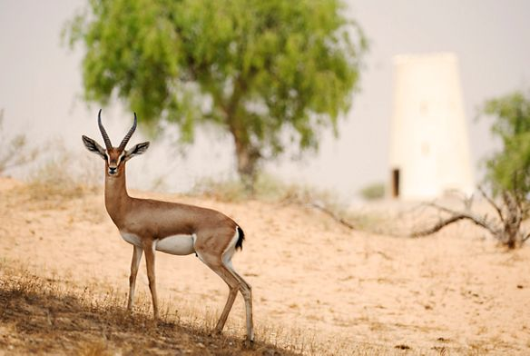 A nimble gazelle turns to face the camera while stopped in the desert with a tree and a white building in the background