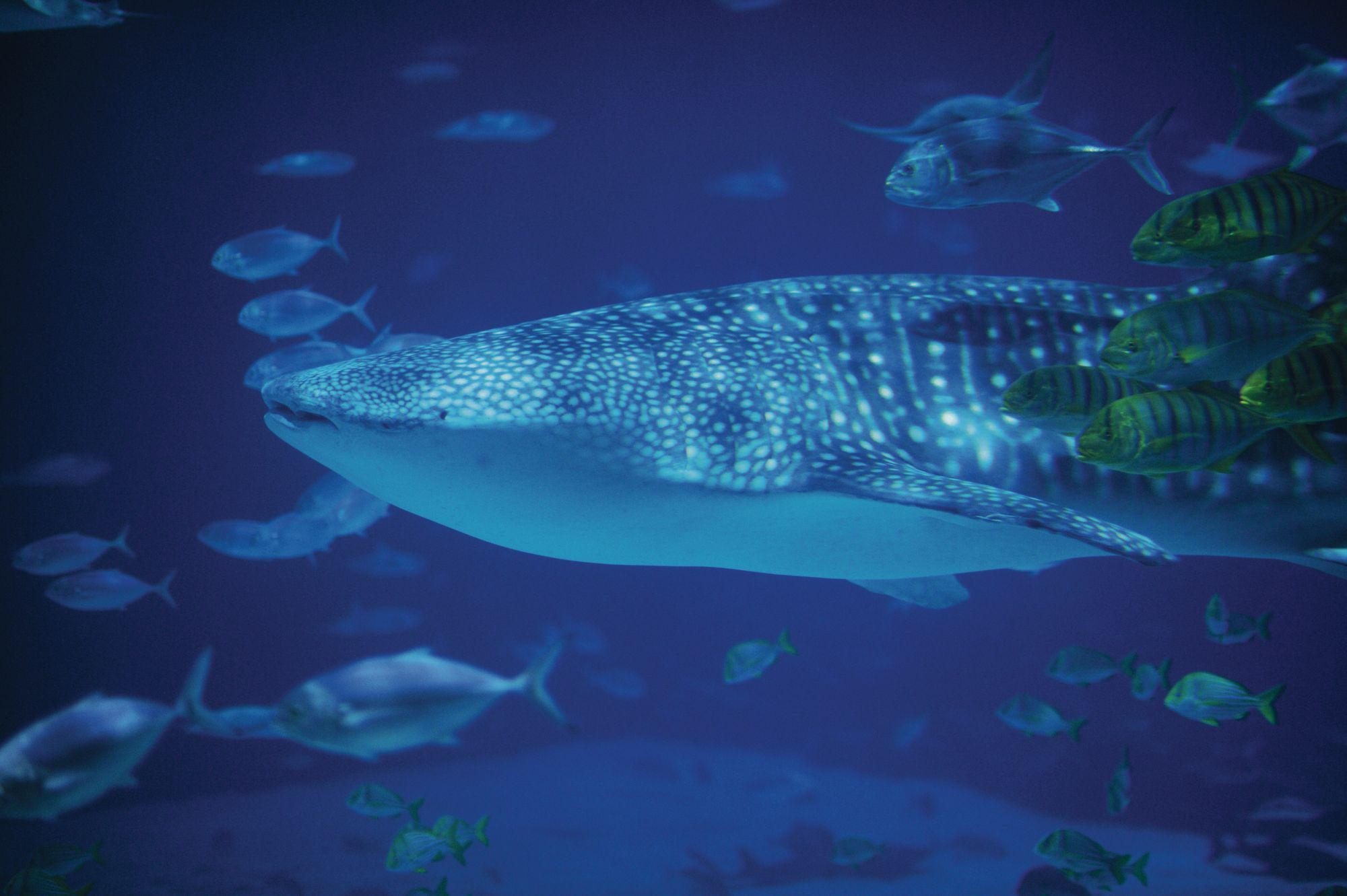 Whale shark swimming with fish in a tank