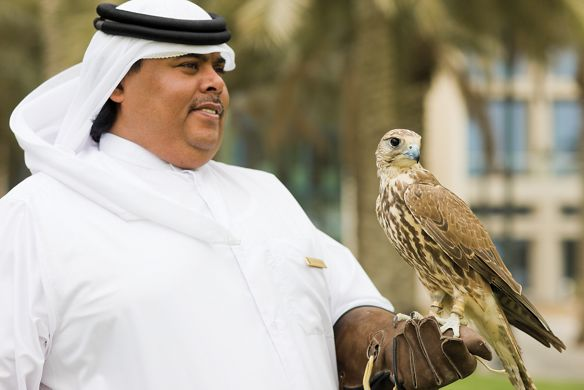 Arabic man in a white uniform and traditional white headdress lets a falcon perched on his gloved hand outside