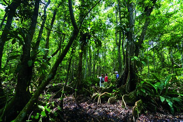 A man and two women hiking amid a dense forest of large trees