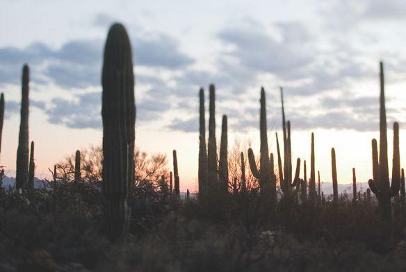 Saguaro cacti at sunset in the Sonoran Desert