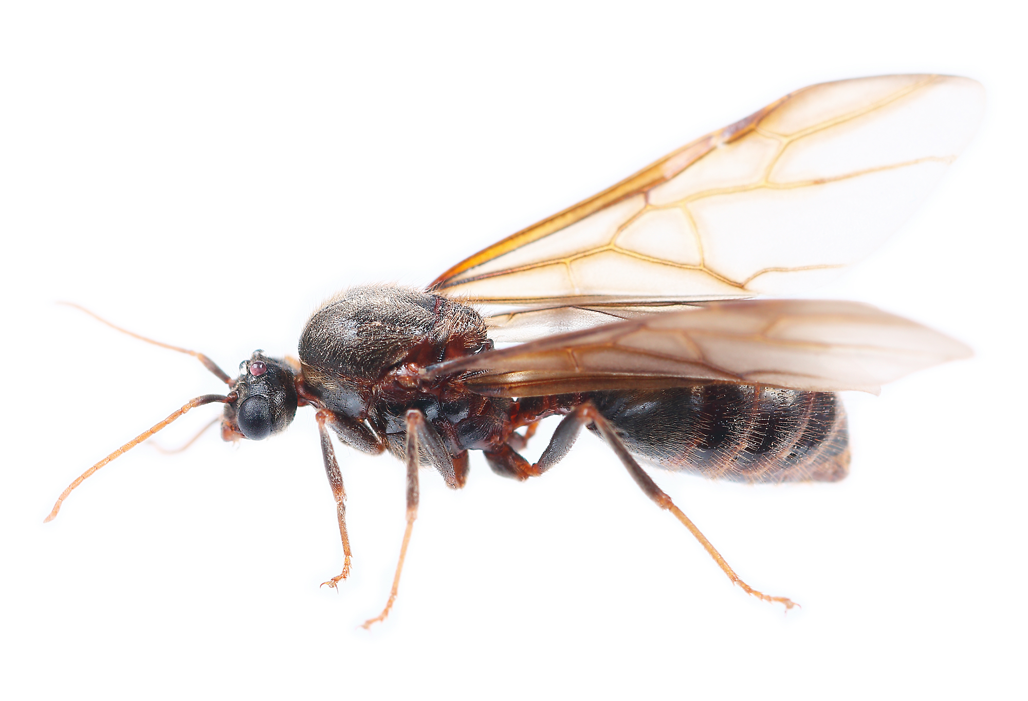 The Ins And Outs Of Flying Ants