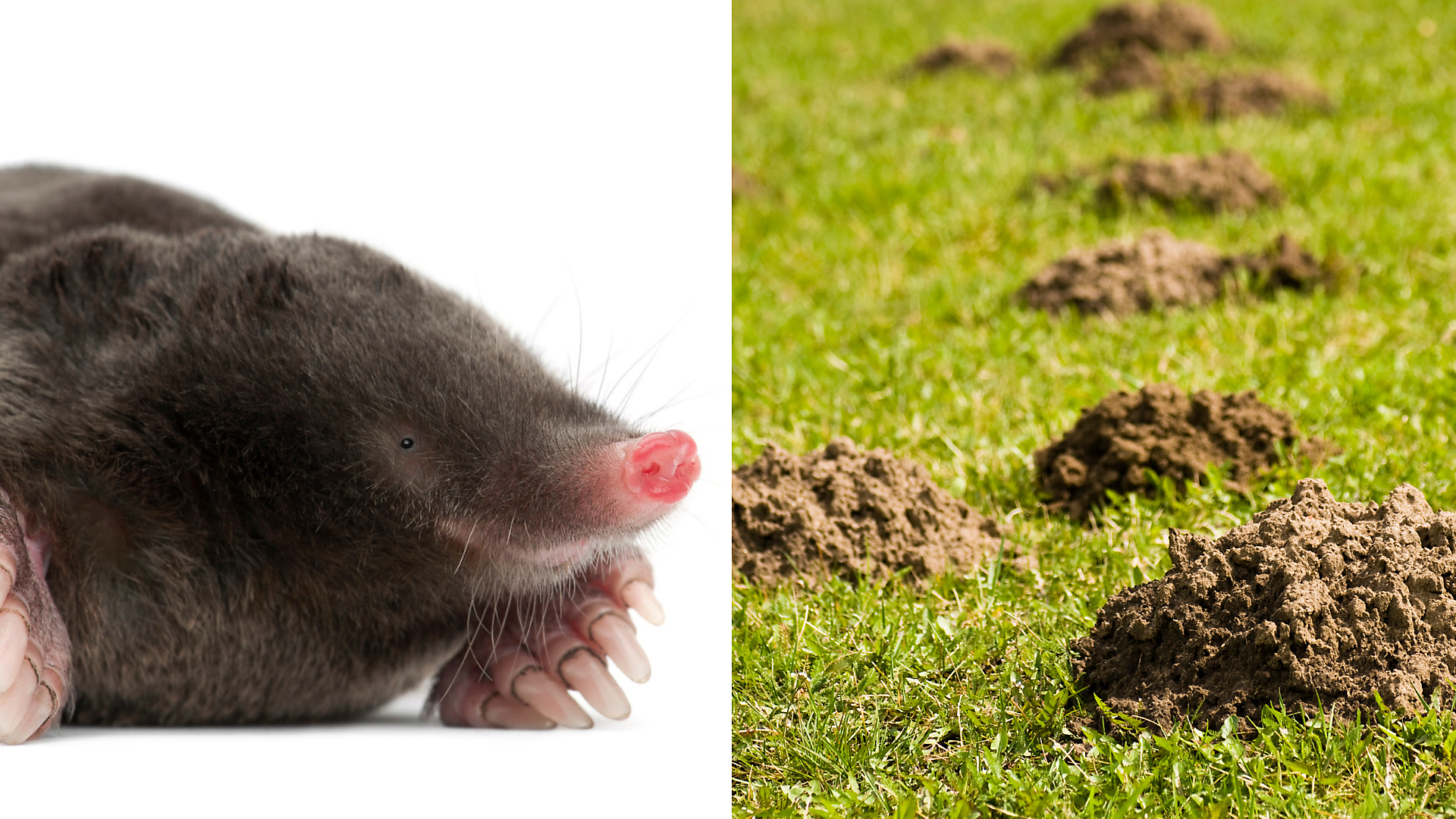 Tips For Identifying Moles Voles And Gophers