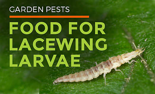 Small Green Flying Bugs | Lacewing Fly Facts | Clear Wings