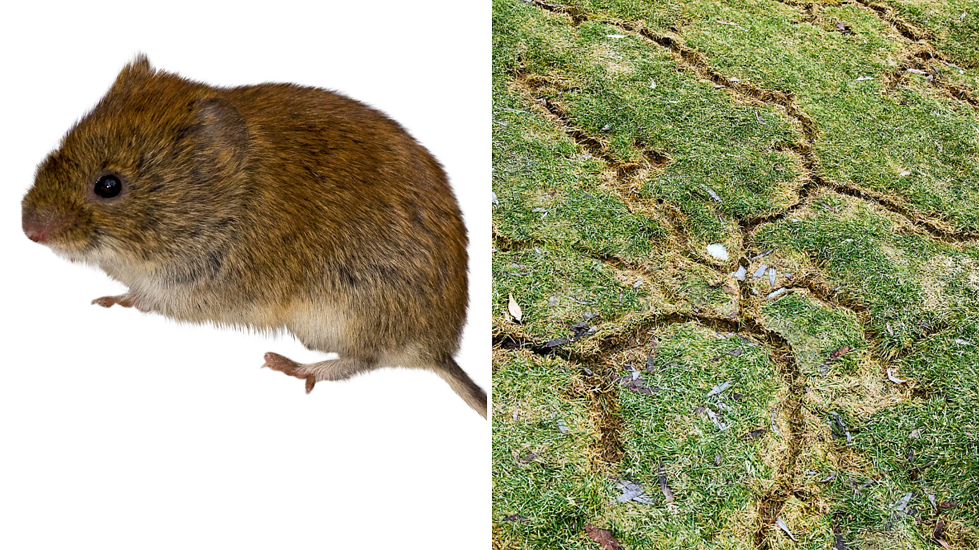 Voles and Vole Damage