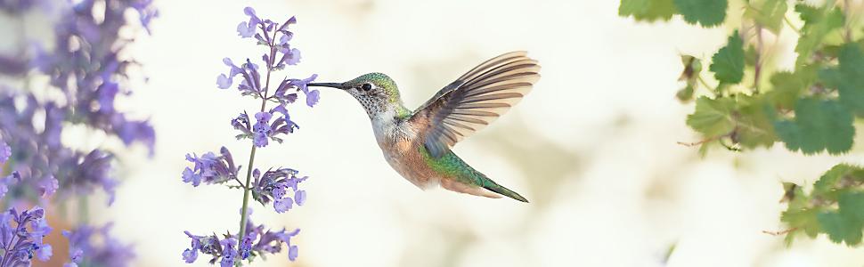 hummingbird drinking nectar from purple flower