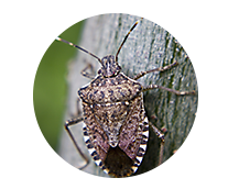 Stink Bug Library