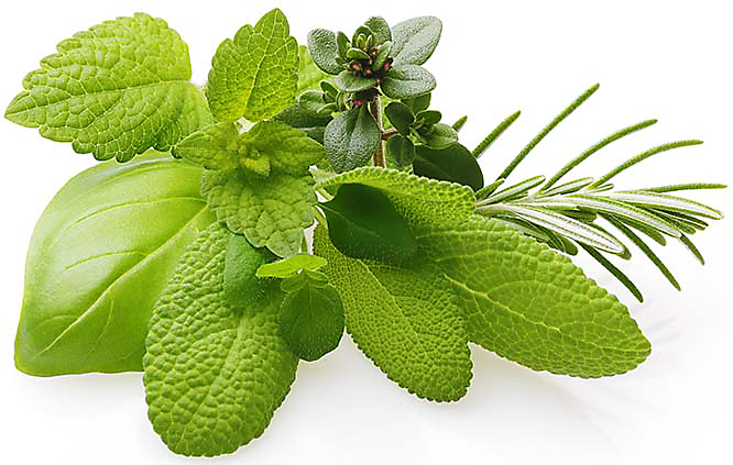 Growing Herbs In Hydroponics
