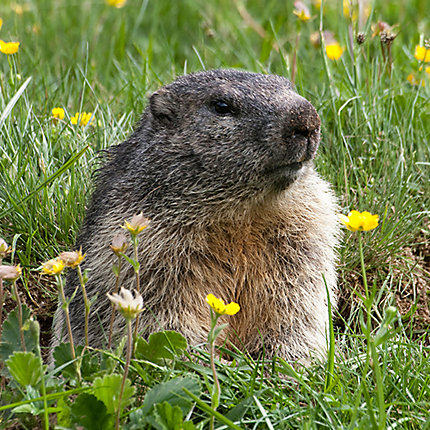 How To Get Rid Of Groundhogs Groundhog Removal Havahart