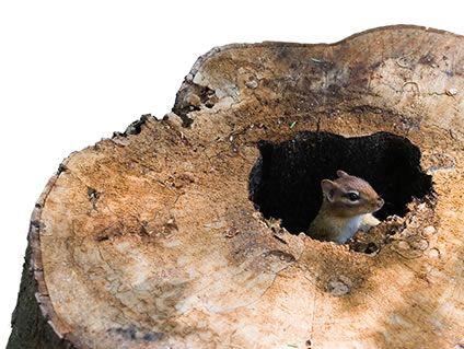 How To Repel Chipmunks Chipmunk Repellents Havahart 174
