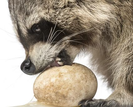 How to Get Rid of Raccoons | Raccoon Removal | Havahart®