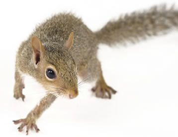 How To Get Rid Of Squirrels Squirrel Removal Havahart