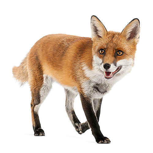 Foxes are notorious backyard nuisances