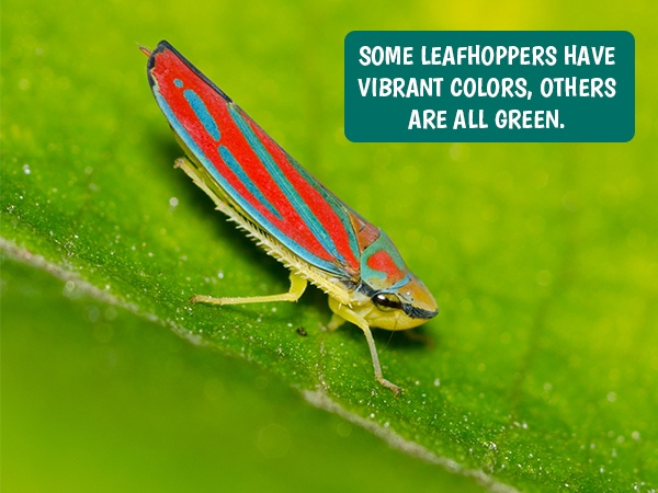 Leafhoppers in Lawn