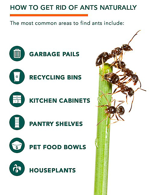 Natural Ant Killer: How To Get Rid Of Ants