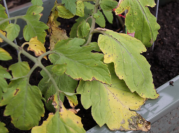 how to fix yellow leaves and burn spots on tomatoes