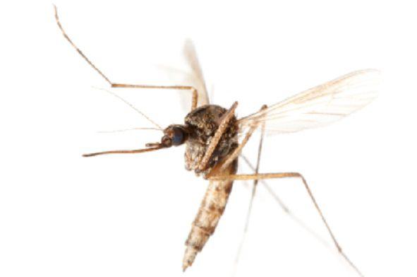 neem oil keeps mosquitoes away