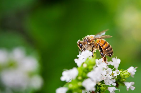 Neem oil insecticide won't harm bess, butterflies or other pollinators