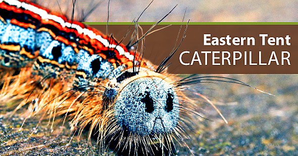What does an eastern tent caterpillar look like and how to get rid of them & How to Get Rid of Eastern Tent Caterpillars