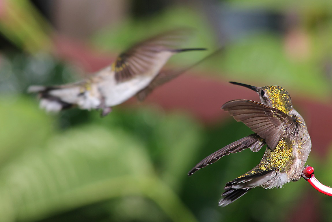 ruby-throated hummingbirds fighting over feeder