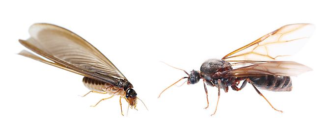 termite left, flying ant right