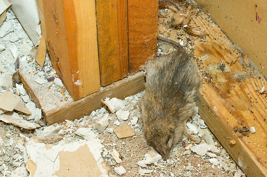 Get Rid Of Dead Mouse Smell In Your House