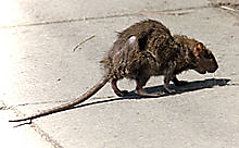 Rat in the City