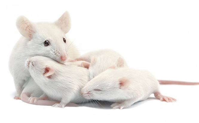Mouse Facts: How Many Baby Mice in a Litter?
